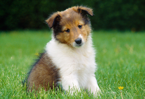 PUP 35 GR0028 01 © Kimball Stock Shetland Sheepdog Puppy Sitting On Lawn
