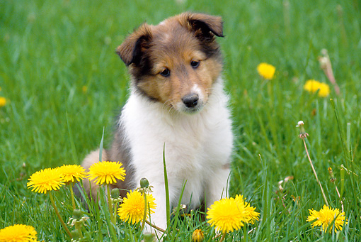 PUP 35 GR0029 01 © Kimball Stock Shetland Sheepdog Puppy Sitting On Lawn By Dandelions