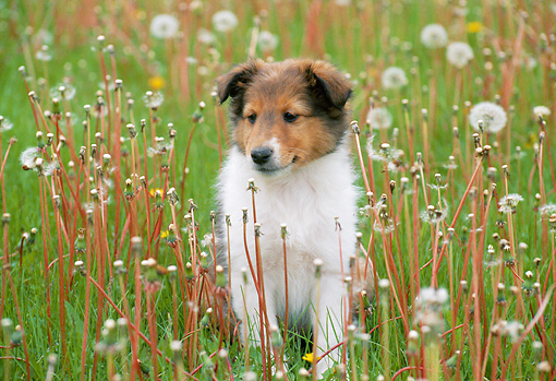 PUP 35 GR0030 01 © Kimball Stock Shetland Sheepdog Puppy Sitting In Field Of Dandelions