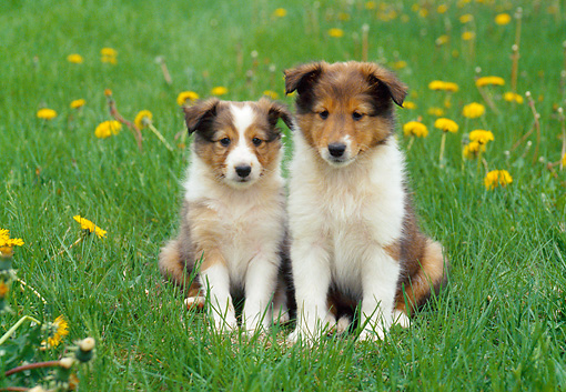 PUP 35 GR0031 01 © Kimball Stock Two Shetland Sheepdog Puppies Sitting On Lawn By Dandelions
