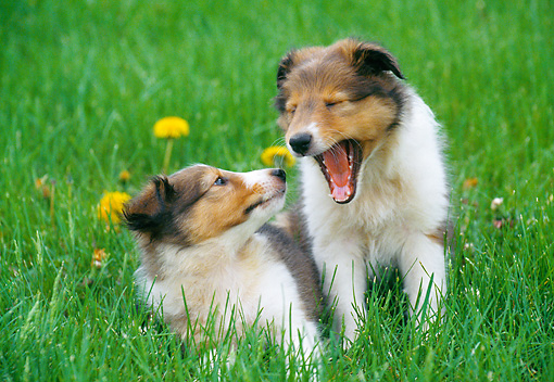 PUP 35 GR0032 01 © Kimball Stock Two Shetland Sheepdog Puppies On Lawn By Dandelions