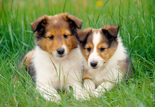 PUP 35 GR0034 01 © Kimball Stock Two Shetland Sheepdog Puppies Laying In Tall Grass