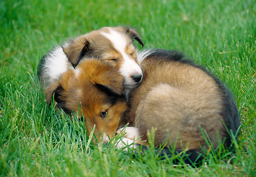 PUP 35 GR0035 01 © Kimball Stock Two Shetland Sheepdog Puppies Sleeping On Lawn
