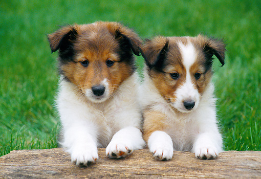 PUP 35 GR0038 01 © Kimball Stock Two Shetland Sheepdog Puppies Leaning On Log