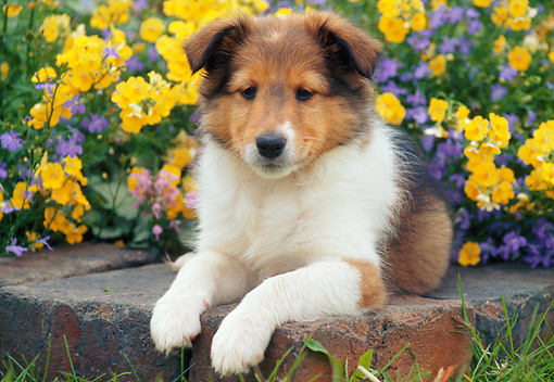 PUP 35 GR0042 01 © Kimball Stock Shetland Sheepdog Puppy Laying On Bricks In Garden
