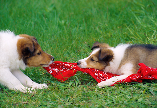 PUP 35 GR0045 01 © Kimball Stock Close-Up Of Two Shetland Sheepdog Puppies Playing Tug Of War With Red Handkerchief