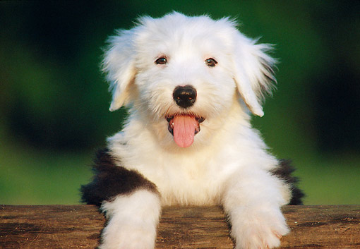 PUP 35 GR0046 01 © Kimball Stock Old English Sheepdog Puppy Leaning On Log
