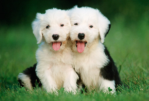 PUP 35 GR0047 01 © Kimball Stock Two Old English Sheepdog Puppies Sitting On Lawn