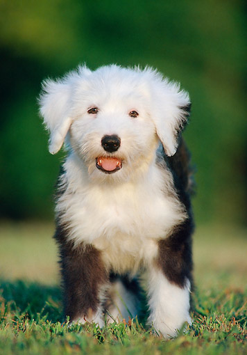 PUP 35 GR0048 01 © Kimball Stock Old English Sheepdog Puppy Standing On Grass