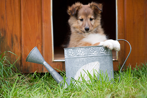 PUP 35 JE0001 01 © Kimball Stock Shetland Sheepdog Puppy Sitting In Watering Can On Grass