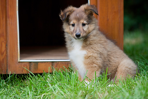 PUP 35 JE0002 01 © Kimball Stock Shetland Sheepdog Puppy Sitting On Grass By Doghouse