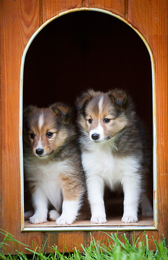 PUP 35 JE0003 01 © Kimball Stock Shetland Sheepdog Puppies Sitting In Doghouse Doorway