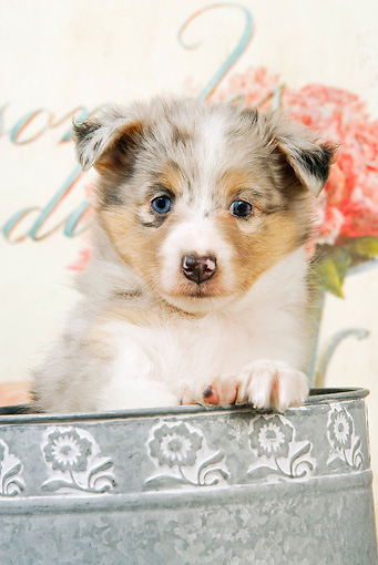 PUP 35 JE0004 01 © Kimball Stock Close-Up Of Shetland Sheepdog Puppy Sitting In Watering Can