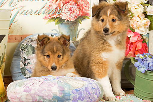 PUP 35 JE0005 01 © Kimball Stock Shetland Sheepdog Puppies Sitting On Cushions With Watering Can With Purple Flowers And White And Pink Roses