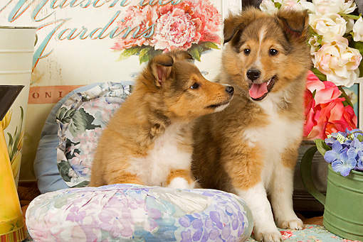 PUP 35 JE0006 01 © Kimball Stock Shetland Sheepdog Puppies Sitting On Cushions With Watering Can With Purple Flowers And White And Pink Roses