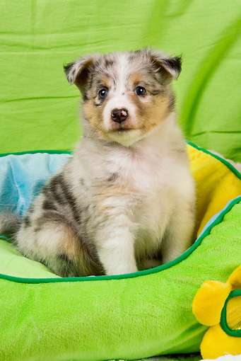 PUP 35 JE0008 01 © Kimball Stock Shetland Sheepdog Puppy Sitting In Green, Blue And Yellow Dog Bed