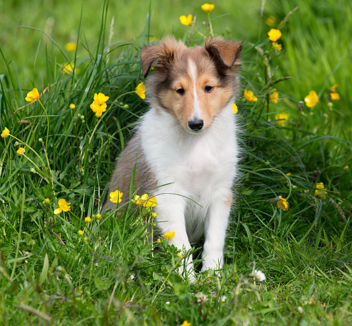 PUP 35 JE0009 01 © Kimball Stock Shetland Sheepdog Puppy Nestled In Grass And Flowers