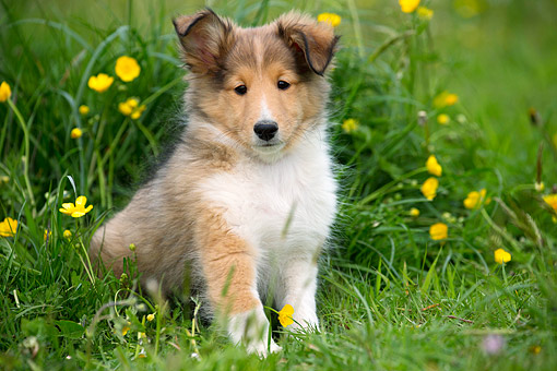 PUP 35 JE0010 01 © Kimball Stock Shetland Sheepdog Puppy Sitting In Grass And Flowers