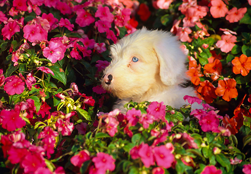 PUP 35 RK0003 02 © Kimball Stock Head Shot Of Old English Sheepdog In Flower Garden