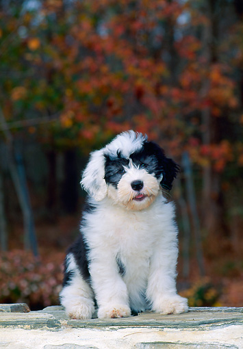PUP 35 CE0001 01 © Kimball Stock Old English Sheepdog Puppy Sitting On Stone Wall By Woods