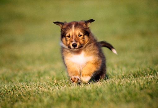PUP 35 GR0001 03 © Kimball Stock Sheltland Sheepdog Puppy Running On Grass Towards Camera