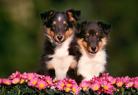 PUP 35 GR0004 02 © Kimball Stock Head Shot Of Two Shetland Sheepdog Puppies By Pink Flowers
