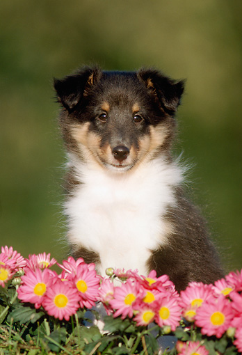 PUP 35 GR0005 01 © Kimball Stock Head Shot Of Shetland Sheepdog Puppy Sitting By Pink Flowers