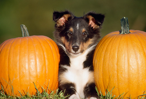 PUP 35 GR0007 01 © Kimball Stock Shetland Sheepdog Puppy Laying On Grass By Pumpkins