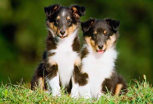 PUP 35 GR0010 03 © Kimball Stock Two Shetland Sheepdog Puppies Sitting Together On Grass Facing Camera
