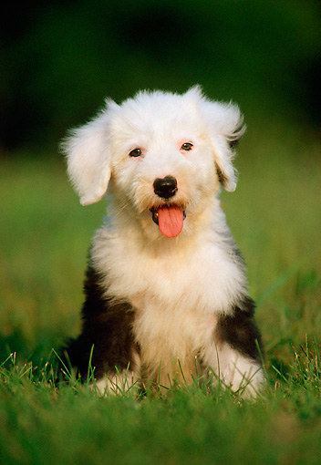 PUP 35 GR0012 04 © Kimball Stock Old English Sheepdog Puppy Sitting On Grass