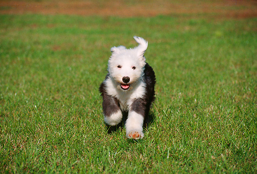 PUP 35 GR0014 01 © Kimball Stock Old English Sheepdog Puppy Running On Grass Towards Camera