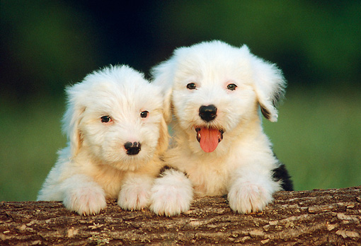 PUP 35 GR0015 01 © Kimball Stock Head Shot Of Two Old English Sheepdog Puppies On Log Facing Camera