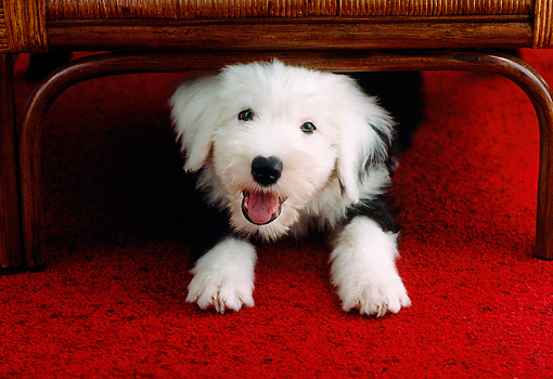 PUP 35 GR0020 01 © Kimball Stock Old English Sheepdog Puppy Peeking From Under Chair