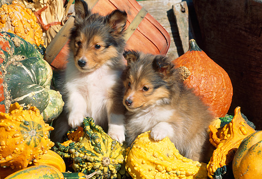 PUP 35 LS0001 01 © Kimball Stock Two Shetland Sheepdog Puppies Climbing On Gourds
