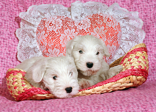 PUP 35 RC0001 01 © Kimball Stock Two Old English Sheepdog Puppies Laying In Basket By Heart-Shaped Pillow