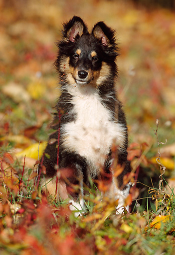 PUP 35 SS0001 01 © Kimball Stock Shetland Sheepdog Puppy Sitting In Field