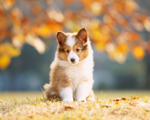 PUP 35 YT0001 01 © Kimball Stock Shetland Sheepdog Puppy Sitting On Grass And Leaves