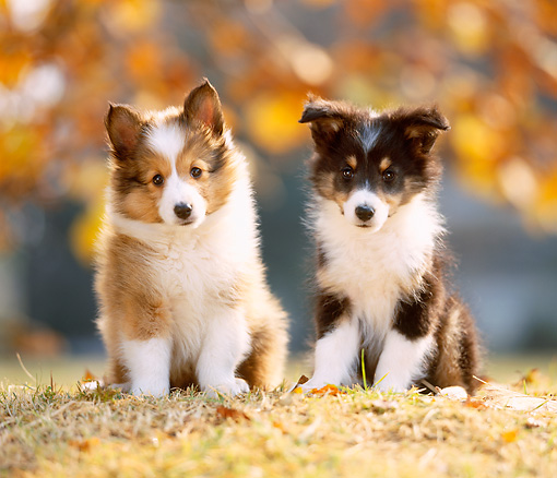 PUP 35 YT0002 01 © Kimball Stock Two Shetland Sheepdog Puppies Sitting On Grass And Leaves