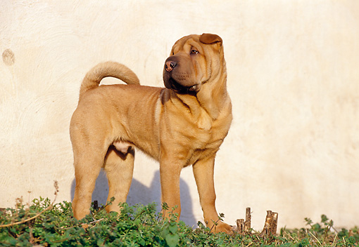 PUP 36 CB0005 01 © Kimball Stock Shar Pei Puppy Standing In Grass By Wall