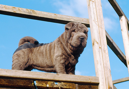 PUP 36 CB0010 01 © Kimball Stock Shar Pei Puppy Standing On Woodpile