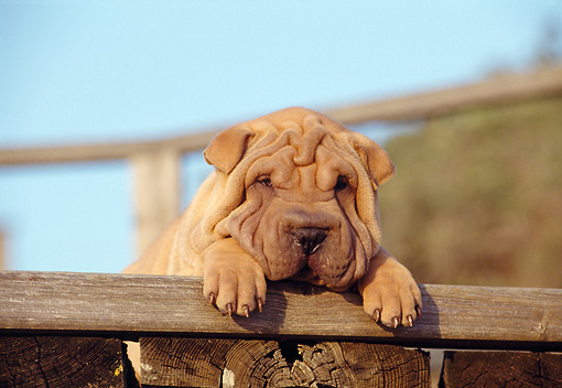PUP 36 CB0011 01 © Kimball Stock Shar Pei Puppy Laying On Woodpile