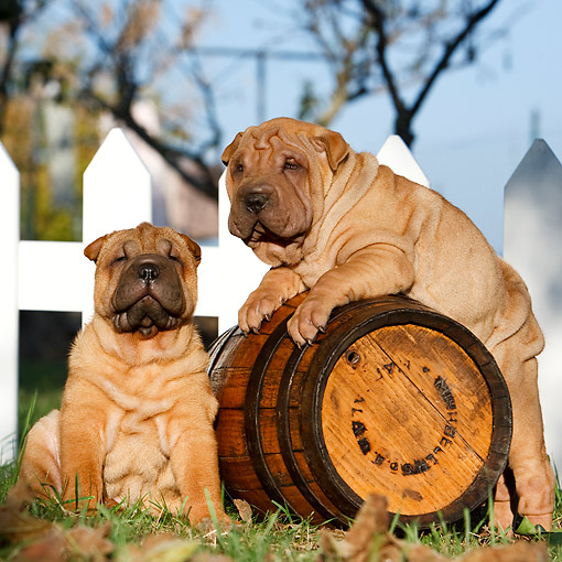 PUP 36 CB0022 01 © Kimball Stock Shar Pei Puppies Sitting With Barrel By Fence