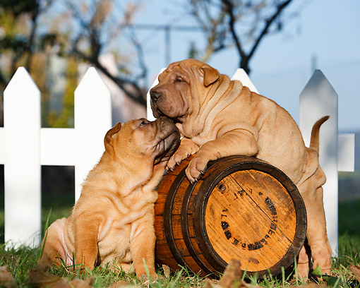 PUP 36 CB0023 01 © Kimball Stock Shar Pei Puppies Nuzzling On Barrel By Fence