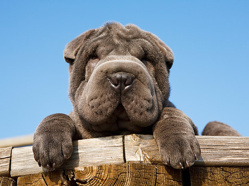 PUP 36 CB0024 01 © Kimball Stock Shar Pei Puppy Sitting On Fence