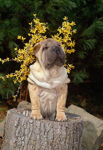 PUP 36 CE0008 01 © Kimball Stock Shar Pei Puppy Standing In Hollow Tree Stump