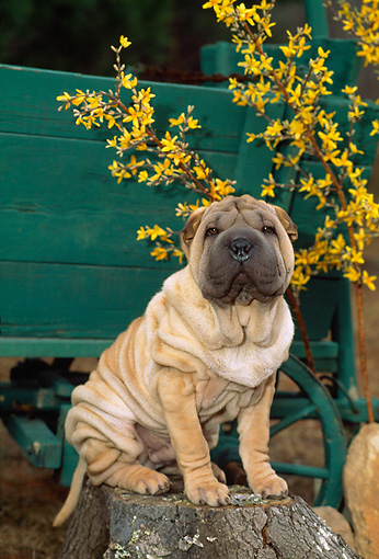 PUP 36 CE0009 01 © Kimball Stock Shar Pei Puppy Sitting On Tree Stump