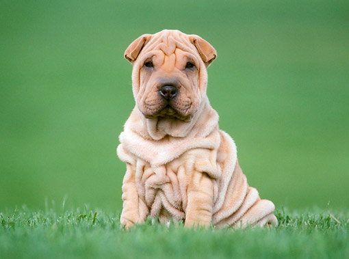 PUP 36 GR0008 01 © Kimball Stock Shar Pei Puppy Sitting On Lawn