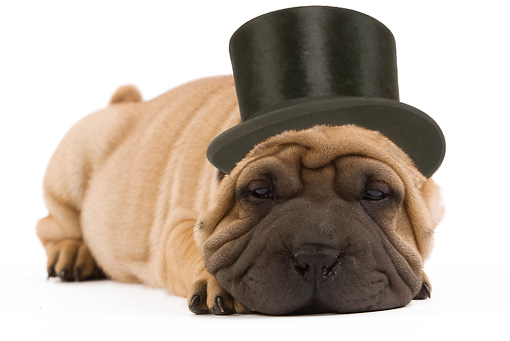 PUP 36 JE0001 01 © Kimball Stock Shar Pei Puppy With Top Hat Laying On White Seamless