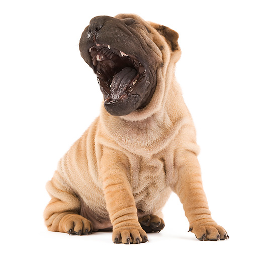 PUP 36 JE0002 01 © Kimball Stock Shar Pei Puppy Sitting On White Seamless Yawning