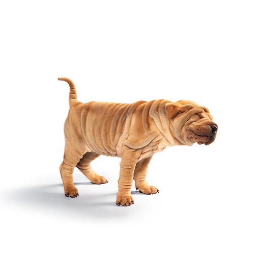 PUP 36 RK0001 09 © Kimball Stock Shar Pei Puppy Standing On Seamless